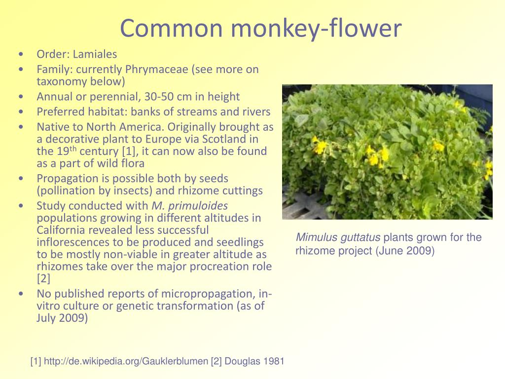common monkey flower l.
