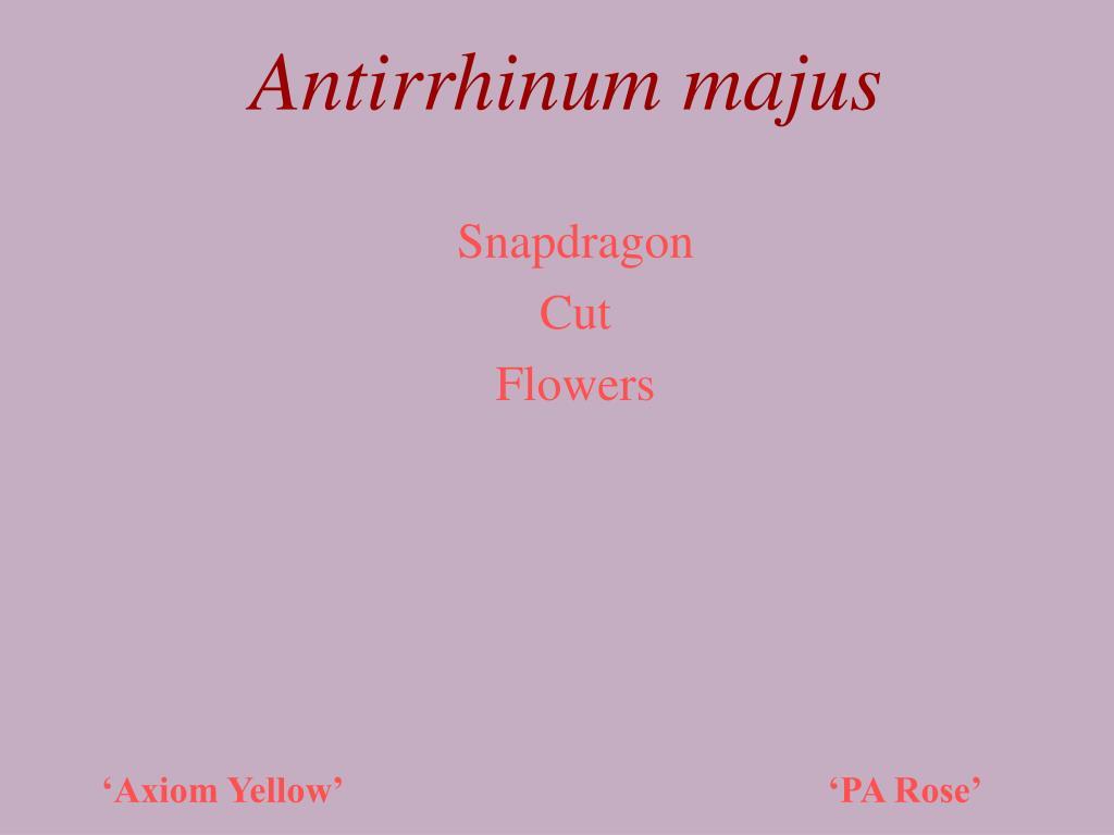 antirrhinum majus l.