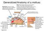 generalized anatomy of a mollusc