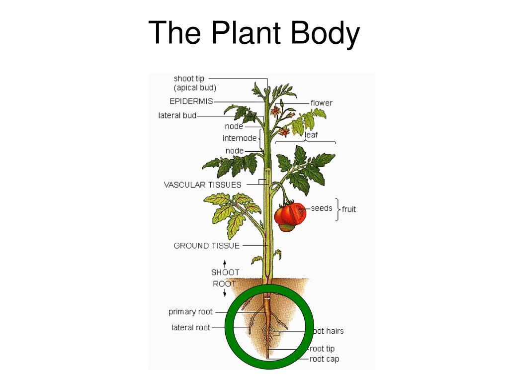 the plant body l.
