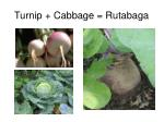 turnip cabbage rutabaga
