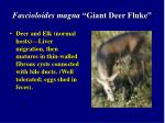 fascioloides magna giant deer fluke2