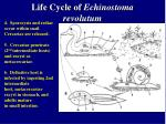 life cycle of echinostoma revolutum22