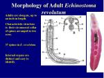 morphology of adult echinostoma revolutum