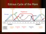 estrous cycle of the mare