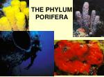 the phylum porifera