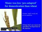 maize was less pre adapted for domestication than wheat