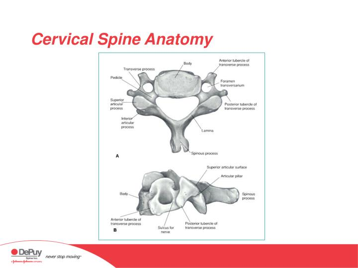 PPT - Anatomy of the Cervical Spine PowerPoint Presentation - ID:337789