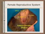 female reproductive system23