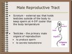 male reproductive tract36