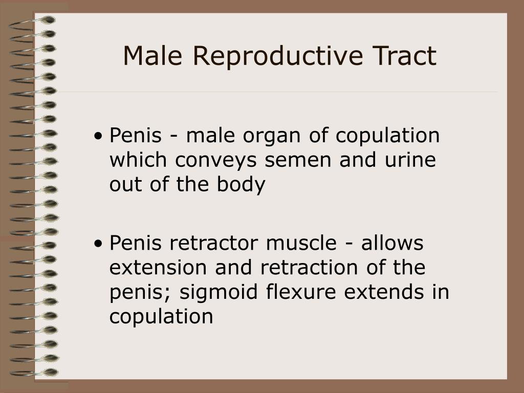 Male Reproductive Tract
