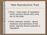 male reproductive tract39