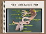 male reproductive tract43