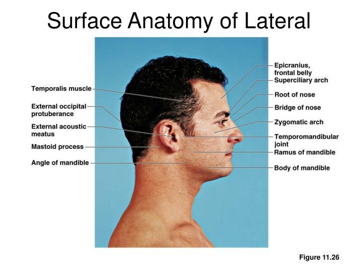 Ppt Surface Anatomy Powerpoint Presentation Id338316
