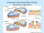 formation of the neural plate with the thickening of ectoderm