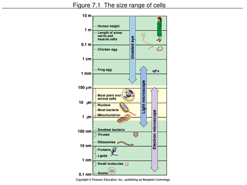 figure 7 1 the size range of cells l.