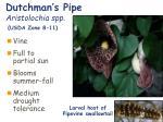 dutchman s pipe aristolochia spp usda zone 8 11