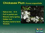 chickasaw plum prunus angustifolia
