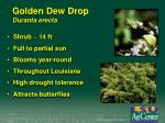golden dew drop duranta erecta