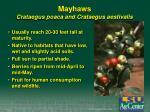 mayhaws crataegus poaca and crataegus aestivalis