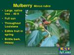 mulberry morus rubra