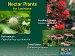 nectar plants for louisiana