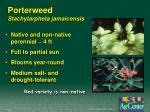 porterweed stachytarpheta jamaicensis