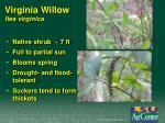 virginia willow itea virginica