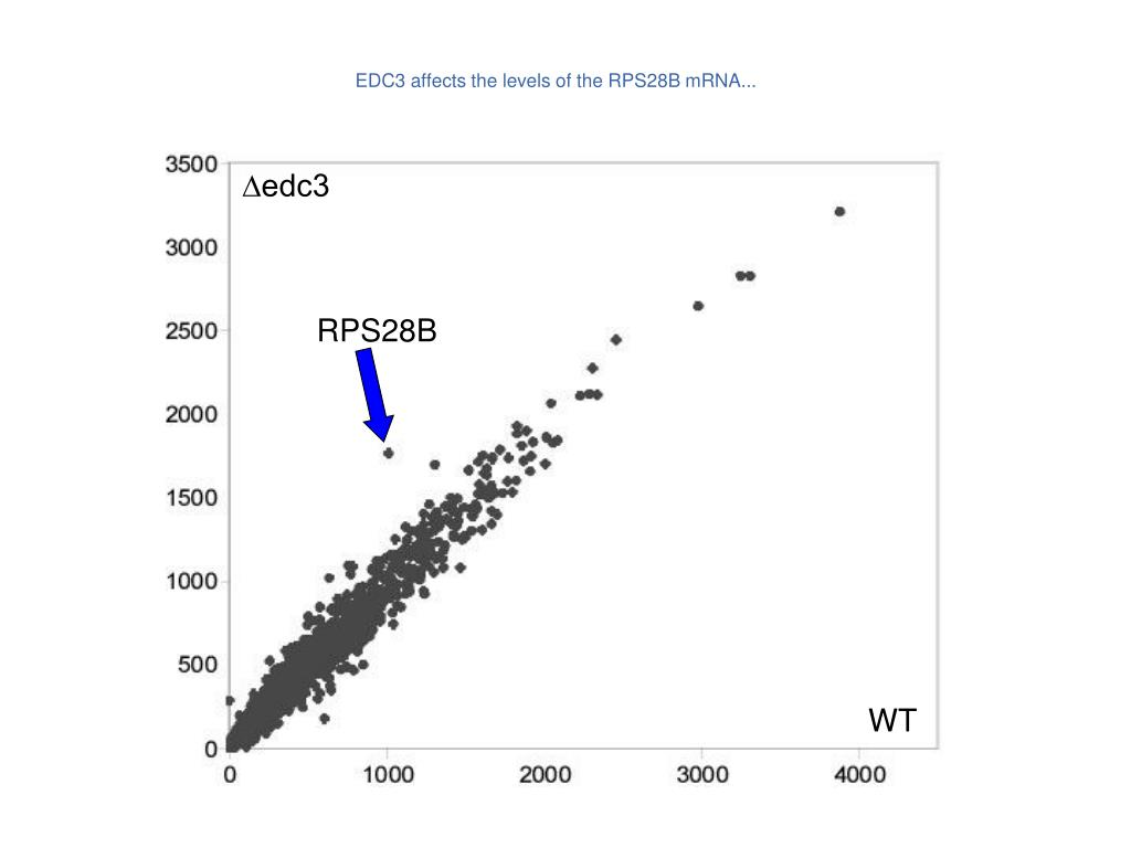 EDC3 affects the levels of the RPS28B mRNA...