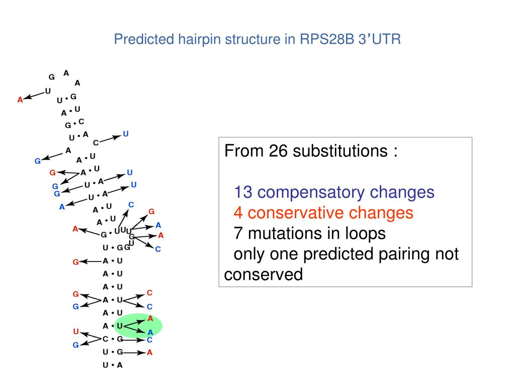 Predicted hairpin structure in RPS28B 3