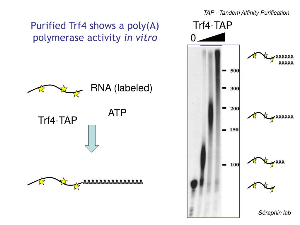 Purified Trf4 shows a poly(A) polymerase activity