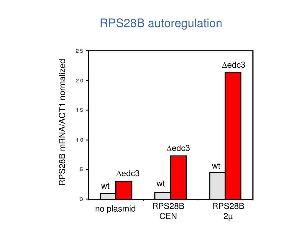 RPS28B autoregulation
