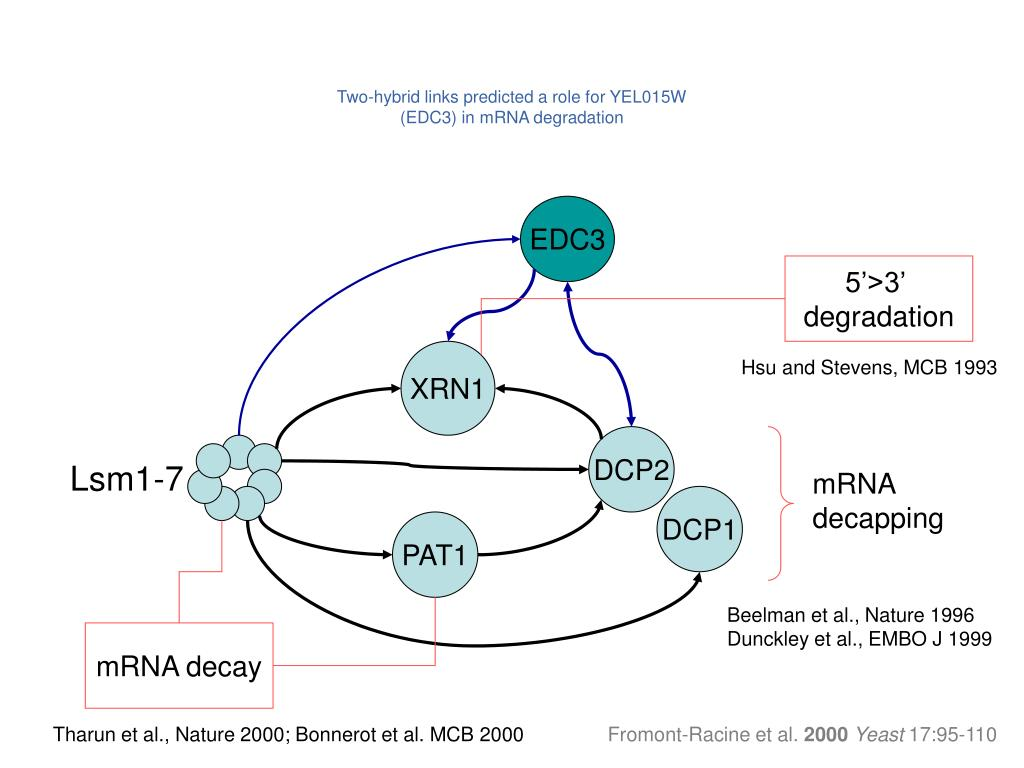 Two-hybrid links predicted a role for YEL015W