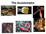 the acoelomates