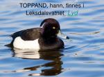 toppand hann finnes i leksdalsvatnet lyd