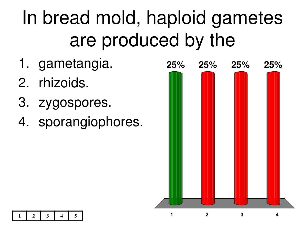 In bread mold, haploid gametes are produced by the
