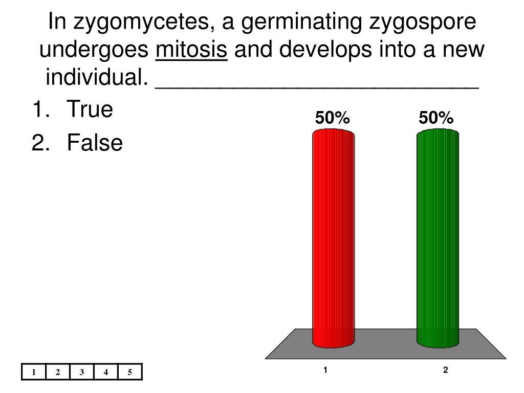 In zygomycetes, a germinating zygospore undergoes