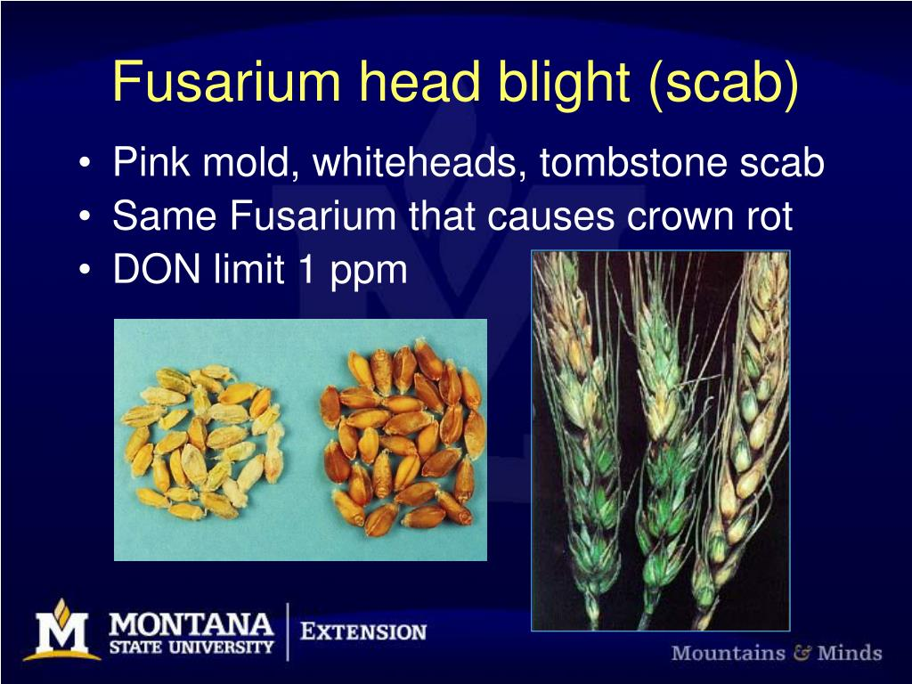 fusarium head blight scab l.