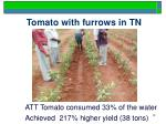 tomato with furrows in tn