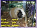 we our new guinea pig