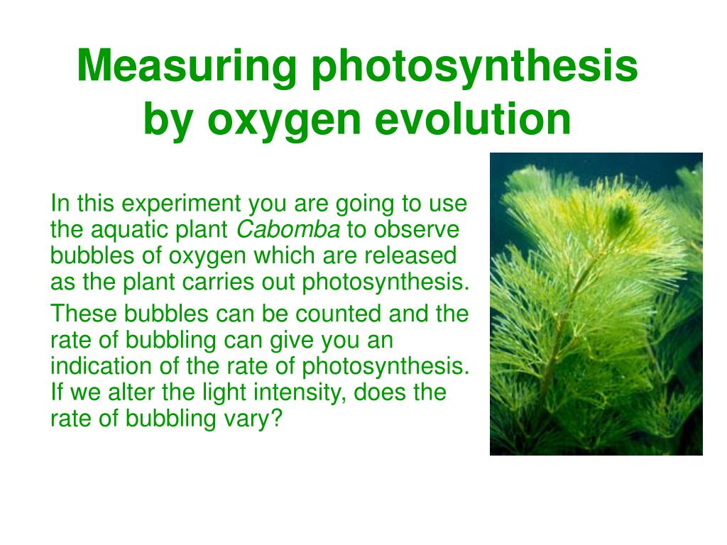 measuring photosynthesis by oxygen evolution l.