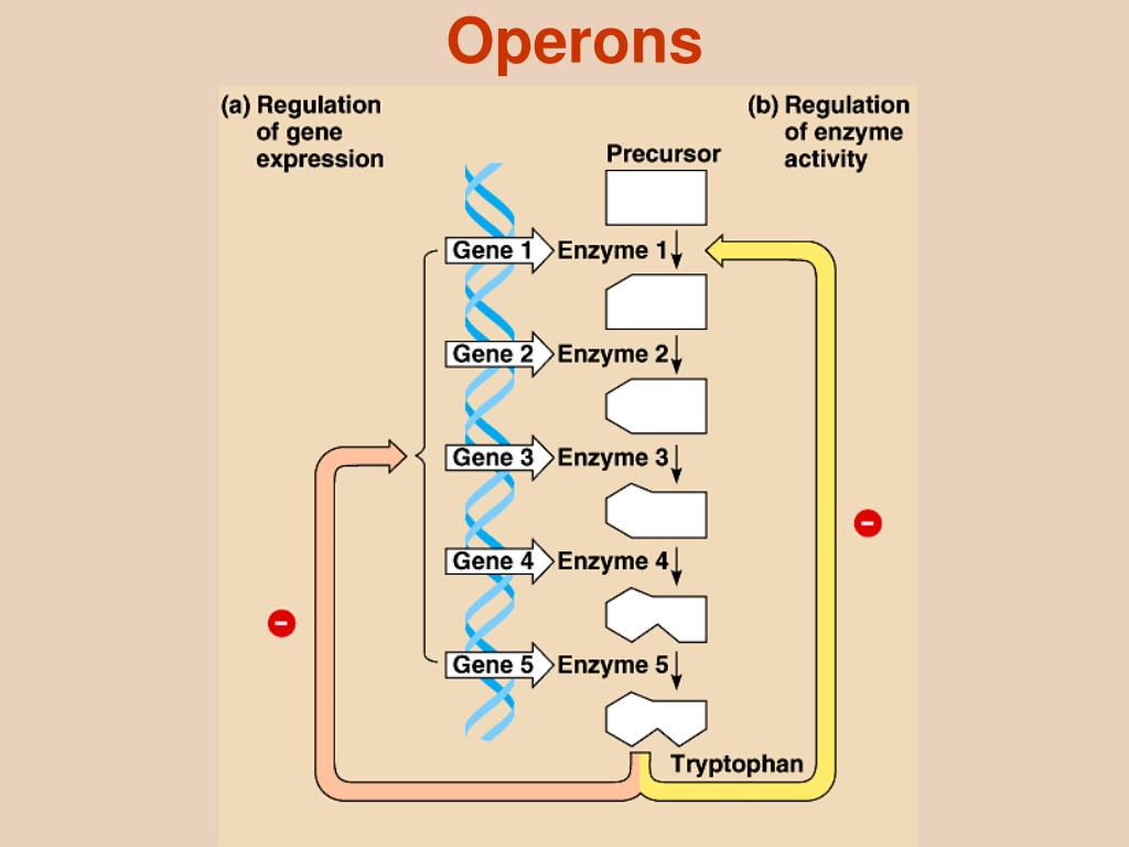 operons Abstract operon structure is an important organization feature of bacterial genomes many sets of genes occur in the same order on multiple genomes these con.