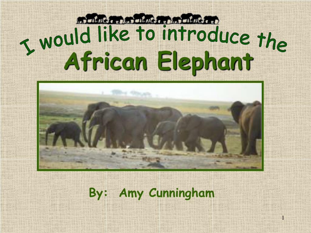 african elephant l.
