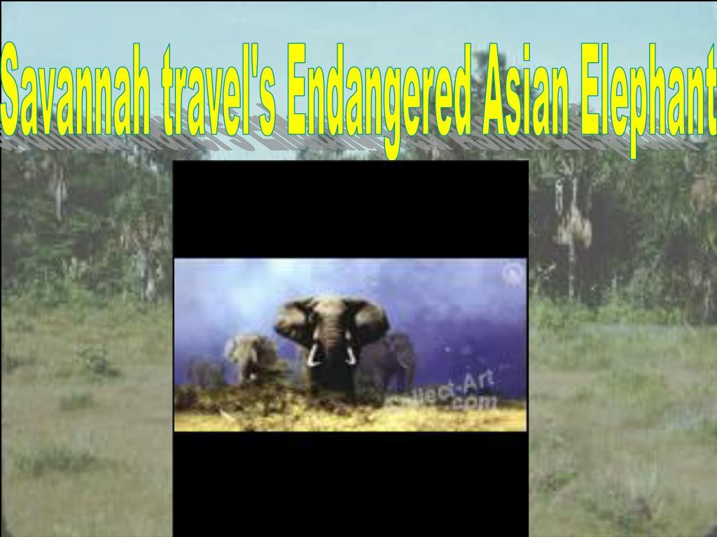 Savannah travel's Endangered Asian Elephant