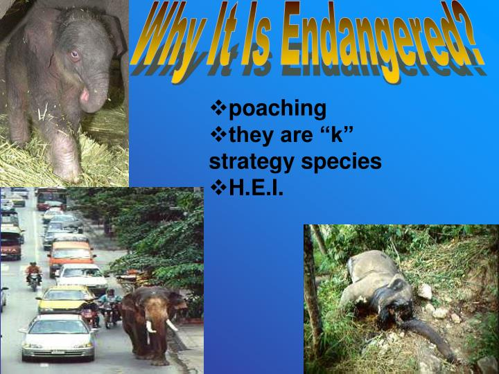Why It Is Endangered?