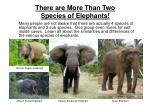 there are more than two species of elephants