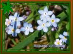 myosotis petite fleur