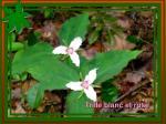trille blanc et rose1