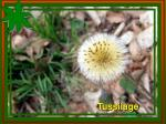 tussilage1