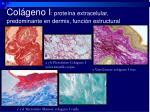 col geno i prote na extracelular predominante en dermis funci n estructural